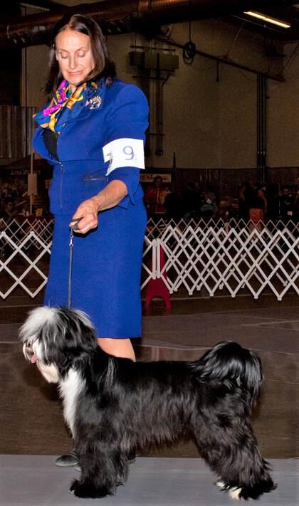 RINCHEN Older Puppy available* - RINCHEN TIBETAN TERRIERS